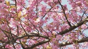 春天开花背景 与开花的佐仓或樱花的美好的自然场面 股票录像