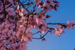 春天开花背景 与开花的树的美好的自然场面和太阳飘动 晴朗的日 下雨 美丽的果树园 库存照片