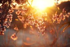 春天开花背景 与开花的树的美好的自然场面和太阳飘动 免版税库存照片