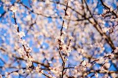 春天开花背景 与开花的树的美好的自然场面 晴朗的日 下雨 被弄脏的摘要 库存照片