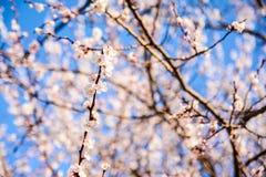春天开花背景 与开花的树的美好的自然场面 晴朗的日 下雨 被弄脏的摘要 库存图片