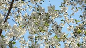春天开花背景 影视素材