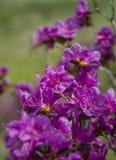 春天开花西西伯利亚的杜鹃花 图库摄影
