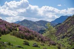 春天开花西西伯利亚的杜鹃花 免版税库存图片