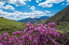 春天开花西西伯利亚的杜鹃花 免版税库存照片