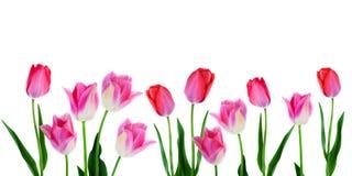 春天开花边界-在行的横幅桃红色郁金香在与拷贝空间的白色背景 库存图片