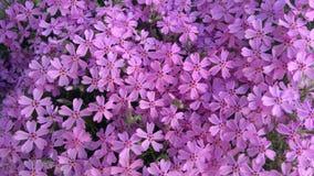 春天开花,紫色美好的花卉背景  库存图片