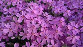 春天开花,紫色美好的花卉背景  图库摄影