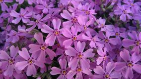 春天开花,紫色美好的花卉背景  免版税图库摄影