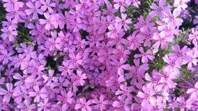 春天开花,紫色美好的花卉背景  免版税库存图片