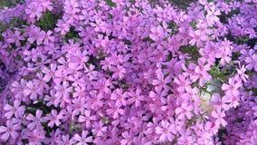 春天开花,紫色美好的花卉背景  库存照片