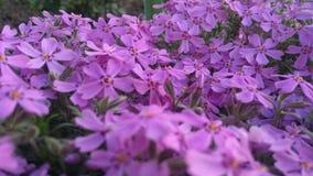 春天开花,紫色美好的花卉背景  免版税库存照片