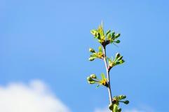 春天开花:一棵开花的树的分支在庭院背景的 免版税库存照片