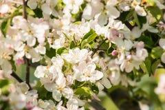 春天开花:一棵开花的苹果树的分支在庭院背景关闭的 免版税库存图片