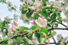 春天开花:一棵开花的苹果树的分支在庭院背景的 免版税库存照片