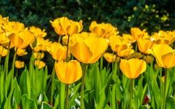 春天开花系列,反对强的太阳亮光的黄色郁金香 库存图片