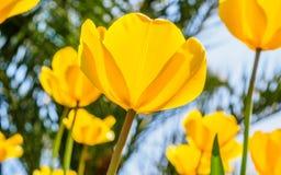 春天开花系列,反对强的太阳亮光的黄色郁金香 免版税库存图片