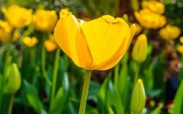 春天开花系列,反对强的太阳亮光的黄色郁金香 库存照片