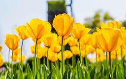 春天开花系列,反对强的太阳亮光的黄色郁金香 免版税库存照片
