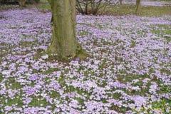 春天开花-紫色番红花和不少黄色冬天A的领域 库存图片
