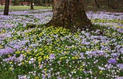春天开花-紫色番红花和黄色菟葵 免版税库存图片