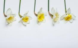 春天开花-水仙,在白色背景中 免版税库存照片