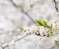 春天开花 免版税图库摄影