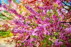 春天扁桃桃红色开花与分支和蓝天户外 免版税库存图片