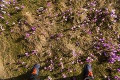 春天打开 开花的番红花在Tatra山, Chocholowska谷开花 一些反弹严格晴朗那里不是的蓝色云彩日由于域重点充分的绿色横向小的移动工厂显示天空是麦子白色风 秀丽本质上 库存图片