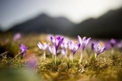 春天打开 开花的番红花在Tatra山, Chocholowska谷开花 一些反弹严格晴朗那里不是的蓝色云彩日由于域重点充分的绿色横向小的移动工厂显示天空是麦子白色风 秀丽本质上 库存照片