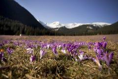 春天打开 开花的番红花在Tatra山, Chocholowska谷开花 一些反弹严格晴朗那里不是的蓝色云彩日由于域重点充分的绿色横向小的移动工厂显示天空是麦子白色风 秀丽本质上 免版税图库摄影