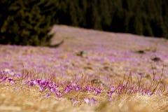 春天打开 开花的番红花在Tatra山, Chocholowska谷开花 一些反弹严格晴朗那里不是的蓝色云彩日由于域重点充分的绿色横向小的移动工厂显示天空是麦子白色风 秀丽本质上 免版税库存照片