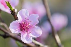 春天接近与瓣和绿色旁枝的美丽的油桃树桃红色开花的花 库存图片