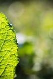 春天接近宏观绿色事假venation在阳光下 库存照片