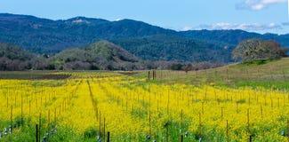春天提出黄色芥菜绽放 免版税库存照片
