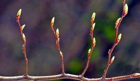 春天新鲜的芽关闭  免版税库存照片