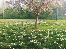 春天早晨在渥太华:在黄水仙上的领域的开花的樱桃 库存照片