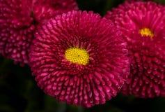 春天明亮的红色雏菊 免版税库存图片