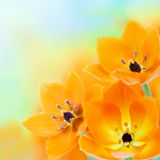 春天星期日星形花 免版税图库摄影