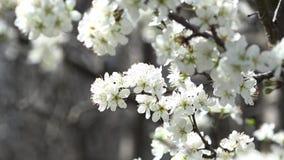 春天是开花的时期 蜂蜜时间 股票视频