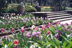 春天是comingï ¼ ŒTulips在杜克大学 库存照片
