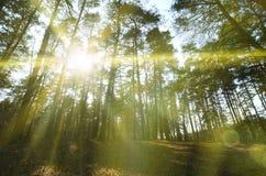 春天晴朗的风景在一个杉木森林里在明亮的阳光下 在杉木中的舒适森林空间,加点与下落的锥体和conif 库存照片