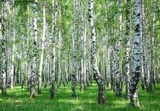春天有新绿色的桦树森林 库存图片
