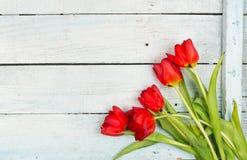 春天有红色郁金香背景 图库摄影