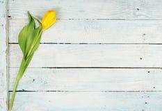 春天有黄色郁金香背景 图库摄影
