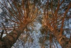 春天杉木树 神色到天空里 库存图片