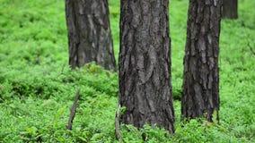 春天杉木森林。Groundcover。充分的HD, 1080p。 影视素材