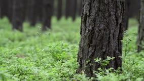 春天杉木森林。Groundcover。充分的HD, 1080p。 股票视频