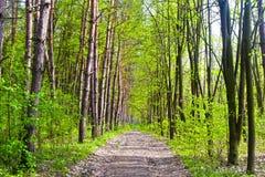 春天杉木森林 免版税库存照片