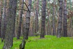 春天杉木森林 库存照片
